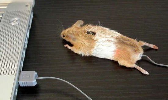 mouse mouse Os5Gd 48