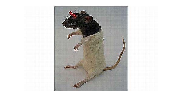 Throwie Rat