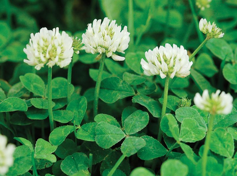 Dutch Clover